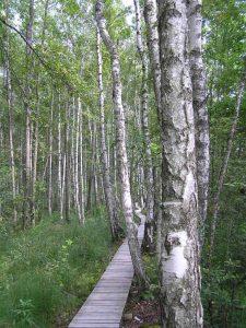 Kładka w lesie bagiennym