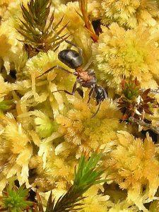 Mrówka bagienna
