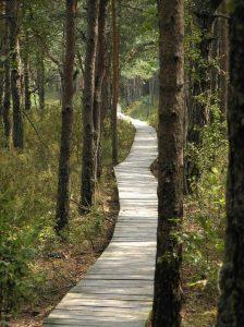 Sosnowy las bagienny