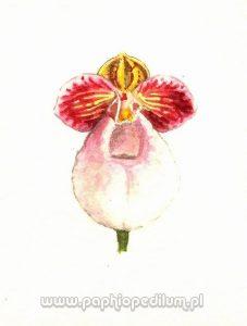 micranthum